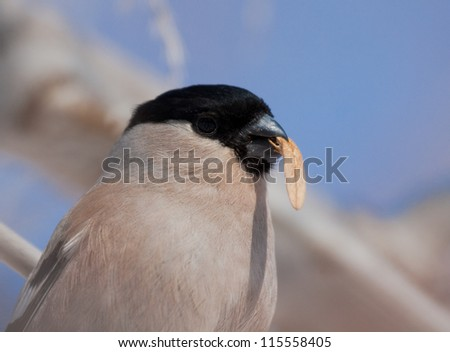 Bullfinch with a seed of maple in beak - stock photo