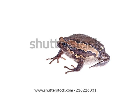Bullfrog - stock photo