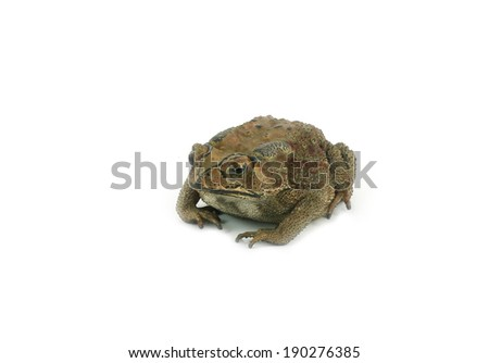 Bullfrog against white background - stock photo
