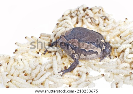 Bullfrog and Worm - stock photo