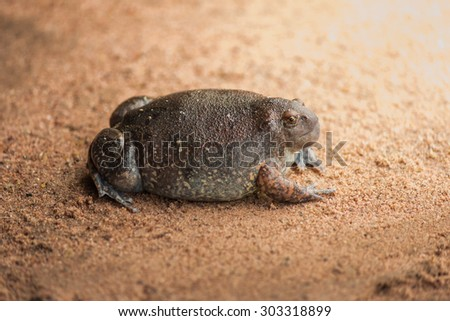 Bullfrog is abundant in the rainy season. - stock photo