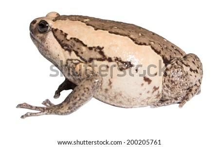 bullfrog isolate on white background - stock photo