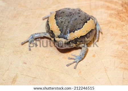 Bullfrog on wood floor - stock photo
