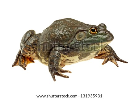 Bullfrog, Rana catesbeiana, against white background, studio shot - stock photo