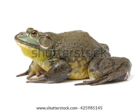 Bullfrog, Rana catesbeiana, against white background, studio shot - stock photo