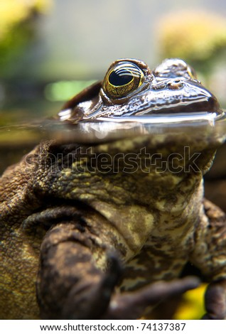 Bullfrog, Rana catesbeiana, in Whater - stock photo