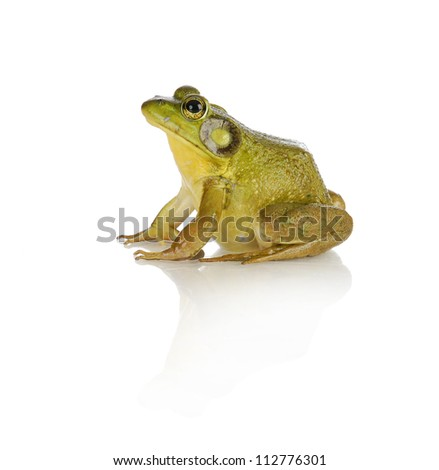 bullfrog species from southwestern ontario - studio shot isolated - stock photo