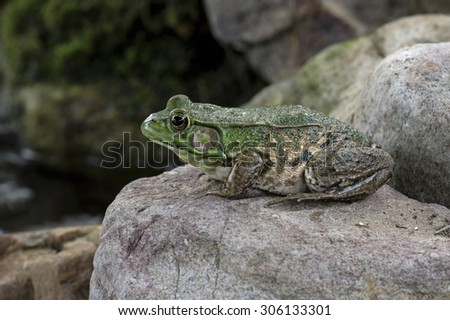 Bullfrogs are the largest real frog found in North America, weighing up to .5 kg and measuring 460 mm in length. Their average length is 100-175 mm. Their color varies from brown to shades of green.