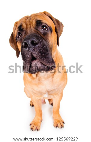 bullmastiff puppy barking loudly. face close up. dog isolated on white background - stock photo
