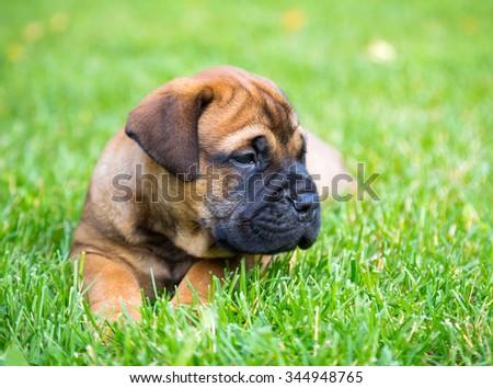 Bullmastiff puppy lying on a green grass - stock photo