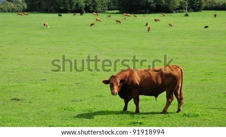 Bulls Grazing in a Green Field - stock photo
