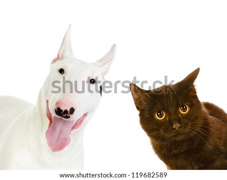bullterrier dog and black cat. looking at camera.  isolated on white background