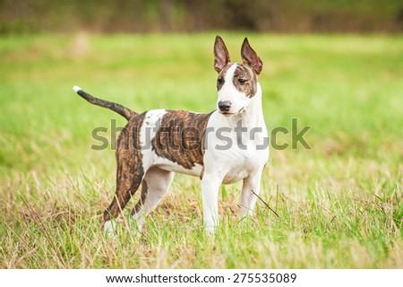 Bullterrier dog in summer  - stock photo