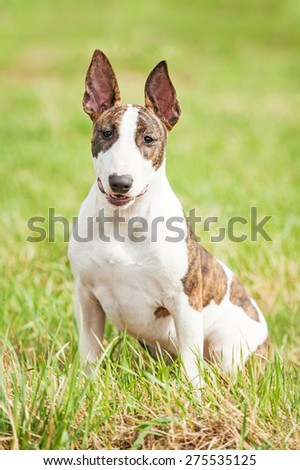 Bullterrier dog in summer