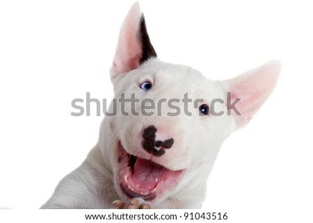 Bullterrier puppy - studio portrait - stock photo