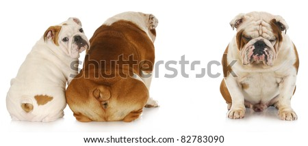 bullying - two english bulldogs ignoring another with very sad expression - stock photo