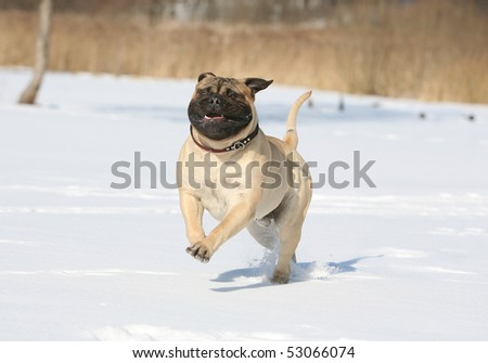 Bulmastiff in the snow - stock photo