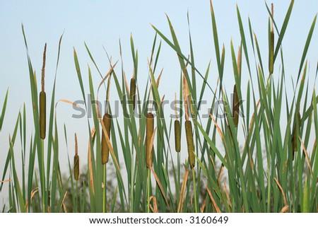 Bulrush against a blue sky - stock photo