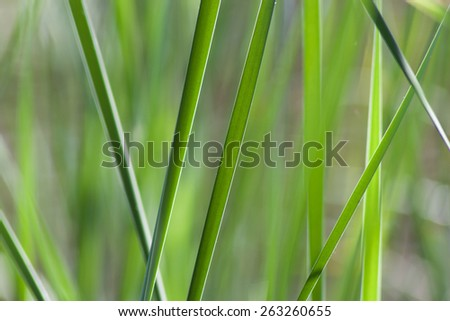Bulrush bush close-up.  A rare high reeds bright green color. Small depth of field - stock photo