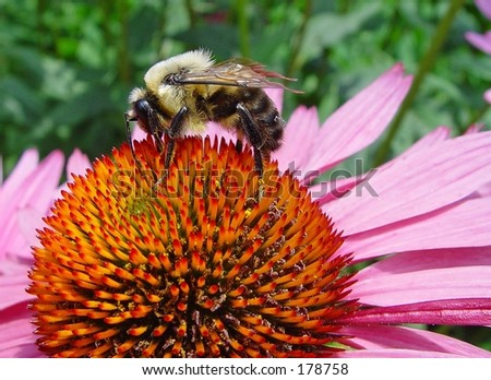 bUMBLE BEE AND FLOWER - stock photo