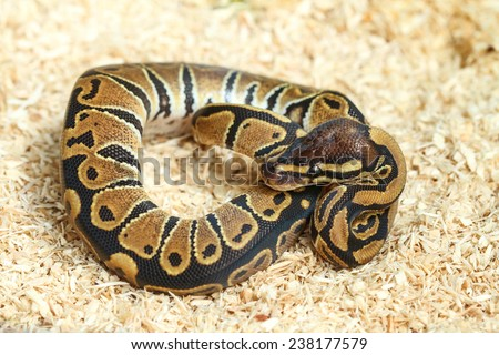 Bumble bee ball python (Python regius) - stock photo