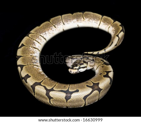 Bumble Bee Ball Python (Python regius) isolated against black background - stock photo