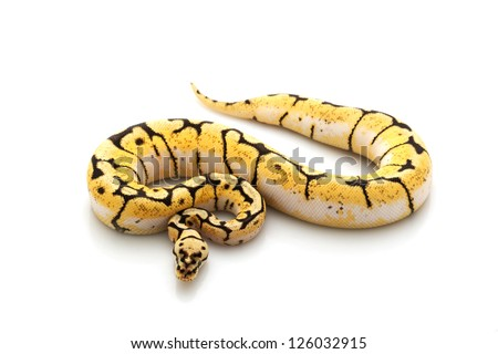 Bumble bee ball python (Python regius) isolated on white background. - stock photo
