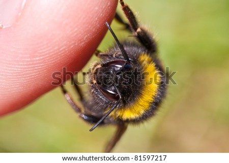 Bumble Bee close-up thumbing a lift - stock photo