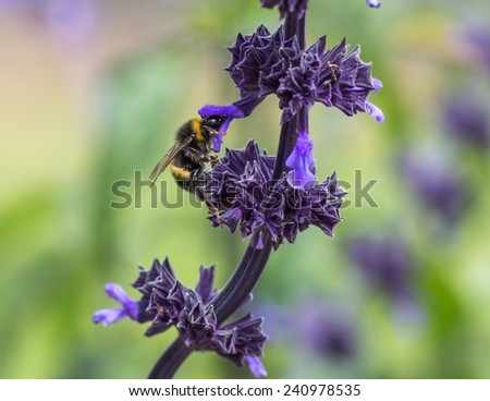 Bumble Bee collecting pollen from purple flower, natural bacround - stock photo