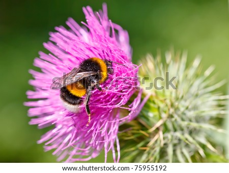 Bumble bee collecting pollen on pink flower - stock photo