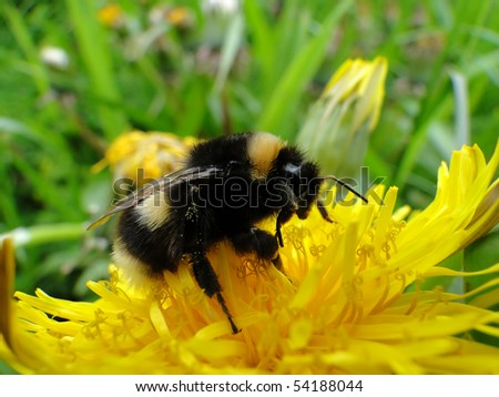 Bumble-bee collects nectar on yellow flower - stock photo