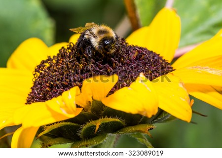 Bumble Bee extracts pollen from bright red sunflower - stock photo