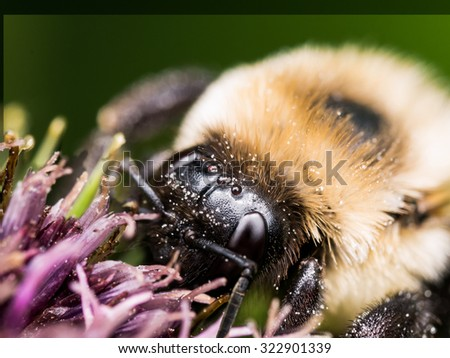 Bumble bee extracts pollen from purple flower - stock photo