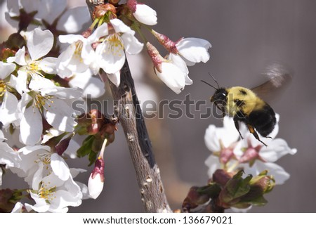 Bumble Bee flying to white blossoms in Spring - stock photo