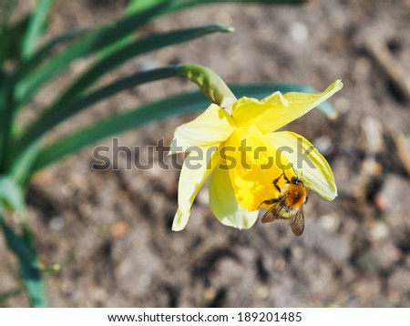 bumble bee gathering nectar from narcissus flower in spring day - stock photo
