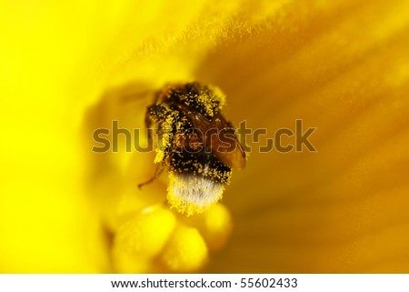 Bumble bee inside a yellow flower covered in pollen. - stock photo