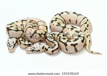 Bumble Bee Mojave Ball Python isolated on white background. - stock photo