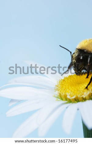 Bumble bee on a daisy - stock photo