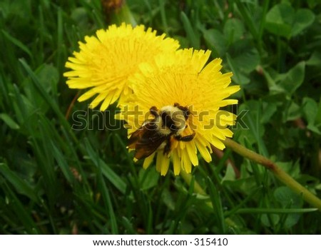 Bumble bee on a dandelion. - stock photo