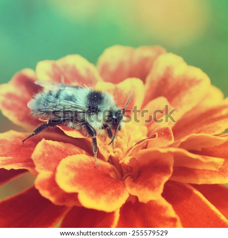 Bumble bee on a flower.Special toned photo in vintage style - stock photo