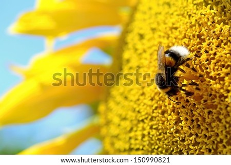 bumble-bee on a sunflower - stock photo