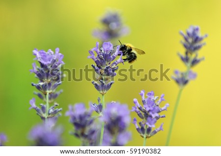 Bumble bee on lavender - stock photo