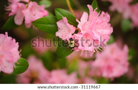 Bumble bee on pink flower - stock photo