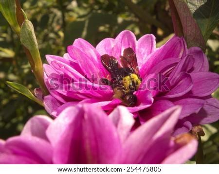 Bumble bee on purple flower. - stock photo