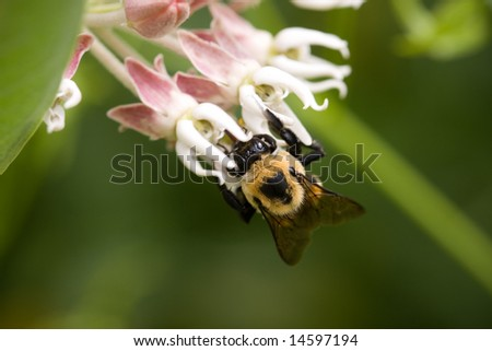 Bumble Bee on small flower - stock photo