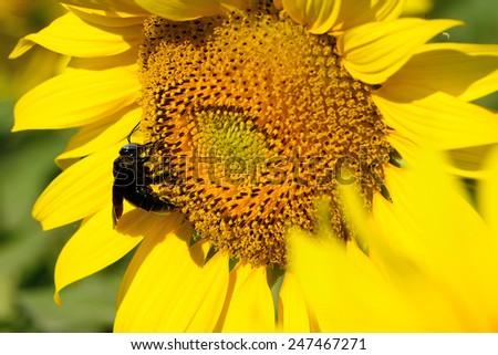 bumble bee on  sunflowers - stock photo