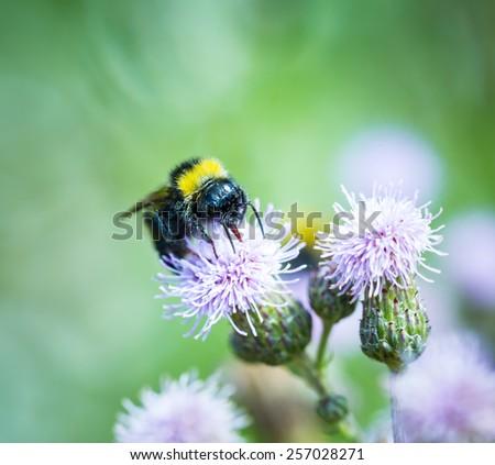 Bumble bee on thistle flower. Beautiful macro - stock photo
