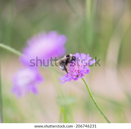 bumble bee on violet flower