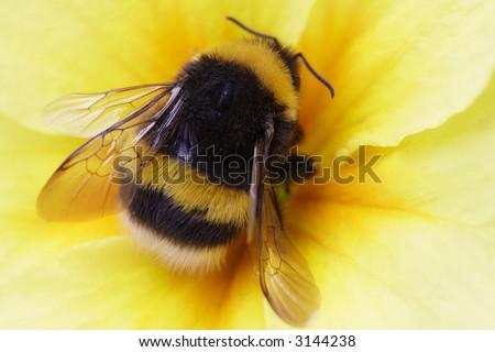 bumble bee on yellow - stock photo