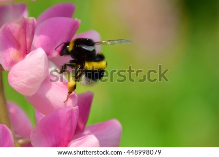 Bumble Bee perched on a flower collecting pollen - stock photo